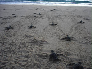 SeaTurtles/leatherbackhatchlings2009.jpg