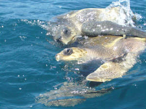 SeaTurtles/ridleys.mating.jpg