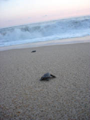 SeaTurtles/seaturtlehatchlings1.jpg